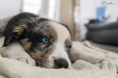Offspring (ColognePhotograph) Tags: blue portrait dog pet cute animal puppy photography photo eyes blueeyes hund shooting blau aussie augen photoart haustier tier welpe australiansheperd colognephotograph