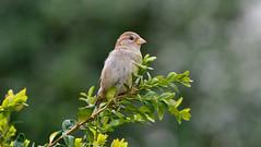 DSC_5886 (sylvettet) Tags: green bird nature sparrow buis moineau boxwood 2016 nikond5100