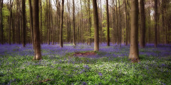 Blue spring dream (*Gitpix*) Tags: wood blue trees plants tree nature leaves forest carpet spring mood belgium sony natur pflanzen atmosphere treetrunk blau forestfloor twigs wald bltter bluebell bume baum atmosphre stimmung springtime teppich frhling belgien zweige hallerbos baumstamm waldboden glockenblumen forestsoil sel16f28 nex7