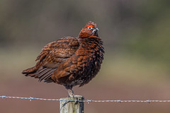 red grouse (dale 1) Tags: red wild game bird up fence post heather feathers grouse posing moors sat fluffed