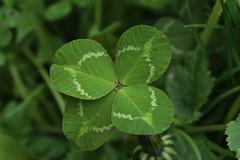 trfle  quatre (bulbocode909) Tags: nature vert printemps feuilles trfles trflesquatre