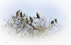 Vultures (snatch42) Tags: birds vulture avian birdsofprey avianphotography krugergamepark nikond7100