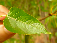 Blatt der Balsam-Pappel (Jrg Paul Kaspari) Tags: leaf spring bach stark blatt trier frhling 2016 populus duftend populusbalsamifera duftpflanze balsamifera balsampappel avelertal aveler