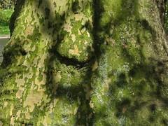 Plane (Deepgreen2009) Tags: park london plane bark trunk dappled stjamesspark