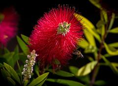 Buzy in the garden (richardhallyh) Tags: flower garden nikon bee ttl highspeedsync autofp sb700 removedfromstrobistpool nooffcameraflash seerule1