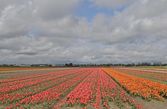 Tulpen in Lisse (Knoffelhuisie Photography.) Tags: red holland rose tulips nederland wolken tulip tuin rood bollen tulpe roze rode tulp lisse tulipfields rooi bloembollen