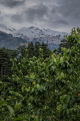 Manali (Jackson Pollard) Tags: street trees wild portrait india white black mountains colour art dogs nature animals clouds giant landscape countryside rocks asia skies locals cows north rivers rabbits yaks manali himachal pradesh
