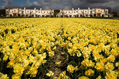 Daffodil field ^_^ (Manadh) Tags: flower holland netherlands field yellow landscape pentax sigma bluesky daffodil k3 1835mm daffodilfield manadh