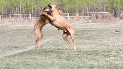 Clash (brettswift) Tags: dog calgary enzo