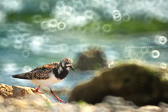 Beach Walk (Falcon EyE) Tags: wild bird beach nature reflex seaside dof bokeh birding jeddah ksa turnstone arenariainterpres mirrorlens symography
