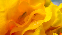 Hellow Yellow (daynawines) Tags: flower macro yellow waterdroplets