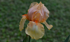 Sunrise Colors (BKHagar *Kim*) Tags: flowers iris orange flower green nature grass yard al blossom alabama bloom tanner momdads bkhagar