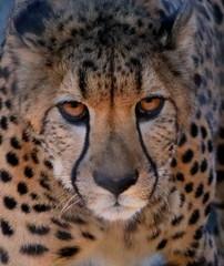 Cheetah - Face to face. (Thanks for over 7M views! Pix.by.PegiSue) Tags: pixbypegisue animal animals canon cuteanimals california desanimauxexotiques exoticanimals ngc sandiegozoo zoo sandiegozooglobal sandiego tourist visitsandiego visitthezoo wwwflickrcomphotospixbypegisue zooanimals zoophotography zooimages cheetah cheetahs bigcats bigcat exoticfelines losgrandesfelinos losfelinos feline felinosexóticos sandiegozoosafaripark flickrbigcat cats cat exoticcat flickrcats wildcat cutecat animalworld wildlife allrightsreservedcopyrightpixbypegisue