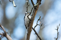 quabbinwinter2016-82 (gtxjimmy) Tags: wood winter bird water nikon massachusetts newengland valley quabbin tamron pecker supply ware belchertown quabbinreservoir d7100 150600mm nikond7100