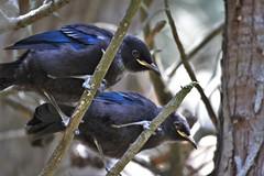 Tui chicks - Prosthemadera novaeseelandiae (Steve Attwood) Tags: newzealand bird nature canon wildlife otago dunedin chicks fledgling tui prosthemaderanovaeseelandiae auldwoodphotography orokuni orokunuiecosanctuary
