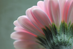 The other side (Pog's pix) Tags: pink plant flower detail macro green nature closeup scotland petals soft pretty natural pastel underside serene delicate kilmarnock ayrshire cutflower eastayrshire