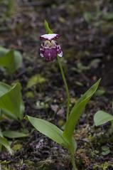 Cypripedium guttatum (front) (ab_orchid) Tags: china orchid native species potw cypripedium