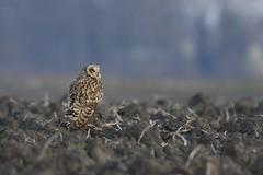 _HNS7071 Velduil : Hibou marais : Asio flammeus : Sumpfohreule : Short-eared Owl