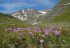 Pian Borgnoz 02 (maurizio.broglio) Tags: parco gran primula paradiso nazionale pian farinosa valsavarenche borgnoz