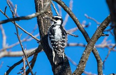 7K8A2372 (rpealit) Tags: bird nature field woodpecker scenery wildlife east downy alumni hatchery hackettstown