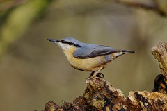 IMGP4423 Nuthatch, Lackford Lakes, January 2016 (bobchappell55) Tags: wild bird nature woodland suffolk wildlife lakes reserve trust nuthatch lackford