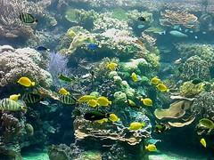 Hagenbeck Aquarium, Hamburg (wattallan594) Tags: travel fish yellow germany aquarium europe hamburg tropical tang hagenbeck