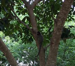 Serie com o Sagui-de-tufos-pretos (Callithrix penicillata) - Series with the Black-ear-tufted-marmoset - 15-02-2016 - IMG_0541 (Flvio Cruvinel Brando) Tags: brazil naturaleza nature animal animals braslia brasil cores natureza series mico animais cor srie marmoset sagui saguis sries soim callithrix callithrixpenicillata penicillata blackeartufted saguidetufospretos blackeartuftedmarmoset tufospretos penicillata