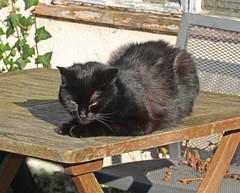 Bonzo:  20.1.16. (VolVal) Tags: cat garden january dorset adopted bournemouth sunbathing boscombe