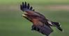 Harris Hawk in flight. Up, up and away! (sharp shooter2011) Tags: hawk raptor birdsinflight hawkwatch hawkinflight 7d2 avianphotography raptorinflight harrishawkinflight herrishawk ef100400mmf4556lisiiusm