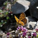 """Zonnige vlinder <a style=""""margin-left:10px; font-size:0.8em;"""" href=""""http://www.flickr.com/photos/62259267@N04/24523367050/"""" target=""""_blank"""">@flickr</a>"""