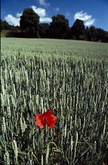 MOHN IN KORNFELD (bolliger51) Tags: rot schweiz flora landwirtschaft natur che blume acker kornfeld mohn weizen weizenfeld lelanderon schweizsuissesvizzeraswitzerland kologischerausgleich neuchtelneuenburg