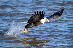 American Bald Eagle Fishing [3657] (cl.lin) Tags: nature fishing nikon eagle wildlife sigma iowa ia mississippiriver bif americanbaldeagle birdinflight leclaire sigma150600mm