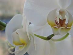 Orchidee (magicmarcyde) Tags: pflanze orchidee blume makro blte stengel