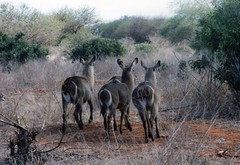 Female Waterbucks, Kenya (Animal People Forum) Tags: africa wild animals female outside kenya outdoor antelope mammals waterbuck freeranging