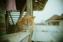 Gingy (Just A Stray Cat) Tags: orange cats film field analog cat 35mm canon 50mm ginger nikon dof bokeh kitty kittens s gato mm manual nikkor 50 35 depth ai f12 bokehlicious f12s