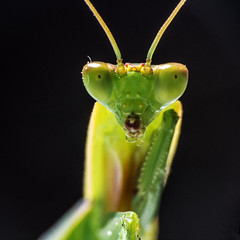 Portrait of a mantis (LSydney) Tags: macro mantis insect