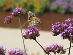Distelfalter  - Enz /Mhlacker (thobern1) Tags: park butterfly germany landesgartenschau schmetterling badenwrttemberg 2015 enz mhlacker schachbrettfalter enzkreis