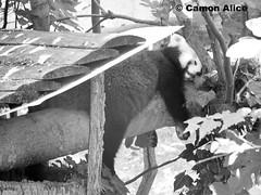 red panda (pinkystar_84) Tags: sleeping wild animals relax lumix zoo panda flickr sleep natura panasonic tired redpanda mammals dormire stanco mammiferi