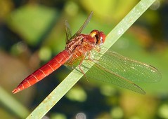 Broad Scarlet. Crocothemis  erythraea. Mature male (gailhampshire) Tags: male scarlet mature broad erythraea crocothemis taxonomy:binomial=crocothemiserythraea