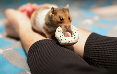 We all need sweet treats (catklein) Tags: snack donut hamster basil treat syrian
