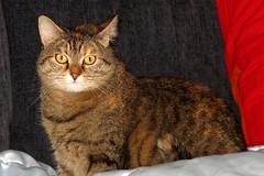 Alice (Alfredo Liverani) Tags: italien italy pet cats pets faience cat canon italia alice gatos gato katze gatto katzen gatti animale italie emiliaromagna romagna faenza gattino gatte gatta g12 animaledomestico catmoments canong12 faventia aliceellen ininterni