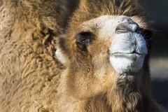 Bactrian Camel 05 (cypher40k Photography) Tags: toronto color colour zoo nikon torontozoo bactriancamel