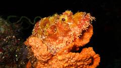 Skorpionfisch gut getarnt auf Koralle (sylviafurrer) Tags: uw underwater scorpionfish unterwasser skorpionfisch