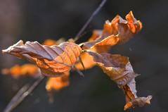 Herbst (izoll) Tags: macro sony herbst blatt bltter nahaufnahme herbstfrbung alpha580 izoll