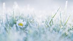 Madeliefje - Lawndaisy (wimzilver) Tags: winter macro canon bloem madeliefje alblasserdam rijp lawndaisy canonspeedlite580exii canoneos5dmarkiii canonef100mmf28lmacroisusm ingeflitstlosvancamera