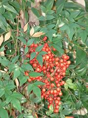 starr-070302-4961-Nandina_domestica-leaves_and_fruit-Pukalani-Maui (Starr Environmental) Tags: nandinadomestica