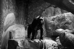 Forth Worth Zoo 1 (floresjeff77) Tags: blackandwhite male 35mm zoo nikon shadows forth strong worth chimpanzee alpha locked inclosure d3100