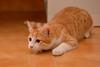 Gato Jinks  (25) x (adopcionesfelinasvalencia) Tags: gato jinks