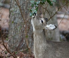 White-tailed Doe (Mary Sonis) Tags: