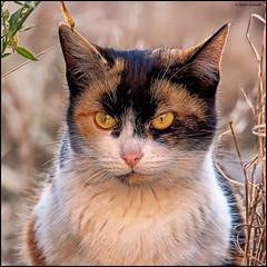 (2244) Cat (QuimG) Tags: pet naturaleza macro nature cat natura olympus gato gat specialtouch quimg quimgranell joaquimgranell afcastell obresdart